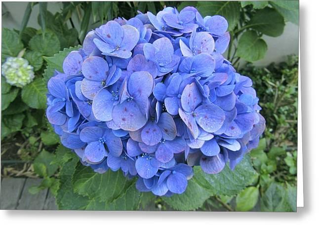 Lacecap Greeting Cards - Hydrangea Flowerhead Greeting Card by Tony Craddock
