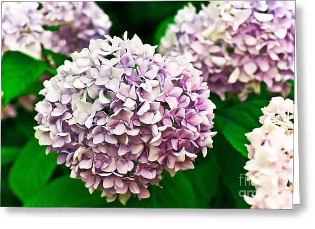 Macro Finalized Photographs Greeting Cards - Hydrangea Purple Greeting Card by Ryan Kelly