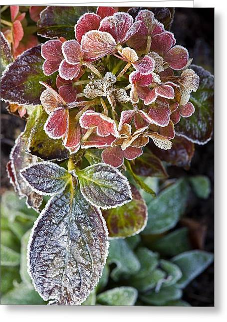 Hydrangea Sp Greeting Card by Dr Keith Wheeler