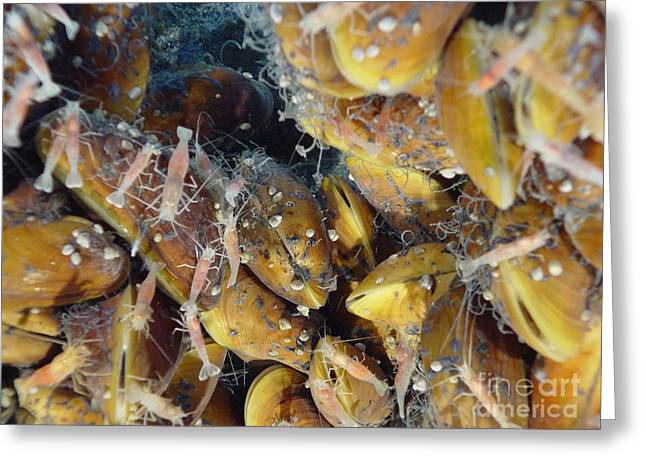 Mariana Greeting Cards - Hydrothermal Mussels And Shrimp Greeting Card by Science Source