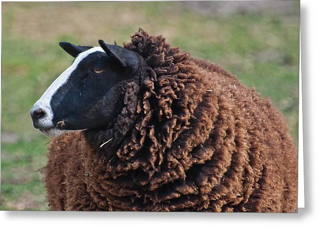 Scapegoat Greeting Cards - I am the black sheep Greeting Card by Ruud Morijn