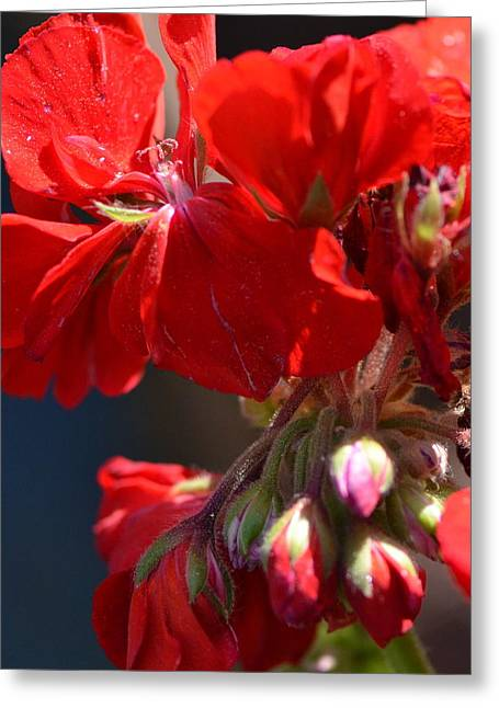 Red Geraniums Greeting Cards - I Cant Stop Loving You Greeting Card by Tanya Tanski