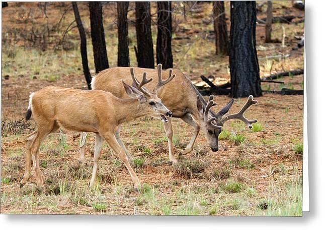 Southwest Wildlife Greeting Cards - I Like Big Racks  Greeting Card by James Marvin Phelps