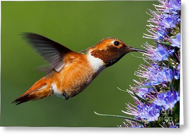 Rufus Greeting Cards - I love purple nectar..... Greeting Card by Carl Jackson