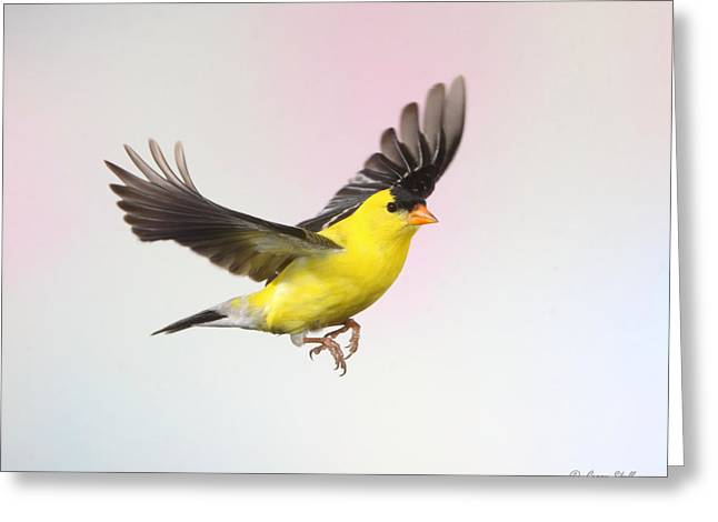 Canary In Flight Greeting Cards - I See You Greeting Card by Gerry Sibell