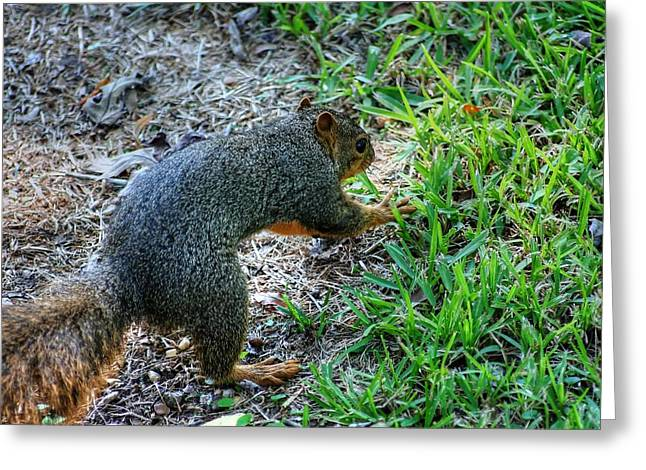 Fox Squirrel Greeting Cards - I Think Someone Is Watching Me Greeting Card by Ester  Rogers