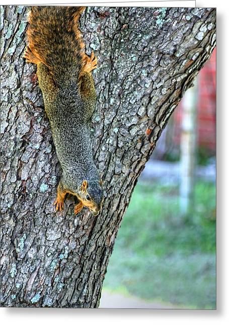 Fox Squirrel Greeting Cards - I Will Never Spit This Nut Greeting Card by Ester  Rogers