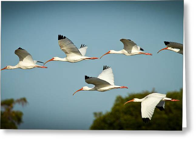 Winged Greeting Cards - Ibis on the Move Greeting Card by Andres Leon