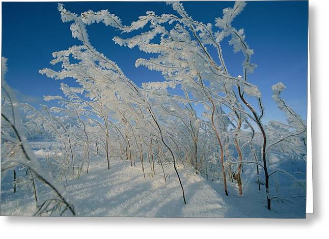 Nunavut Greeting Cards - Ice Crystals Cling To A Stand Of Shrubs Greeting Card by Norbert Rosing