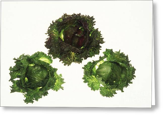 Lettuce Greeting Cards - Iceberg Lettuce Greeting Card by Science Source