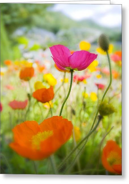 Decorativ Photographs Greeting Cards - Iceland Poppies Greeting Card by Silke Magino