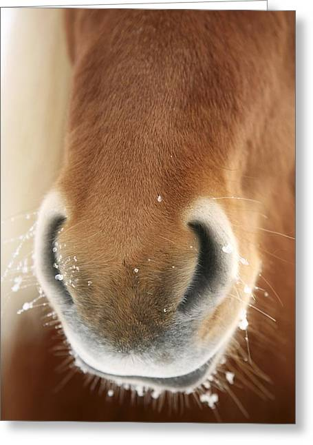 Bred Greeting Cards - Icelandic Horse Greeting Card by Bjorn Svensson