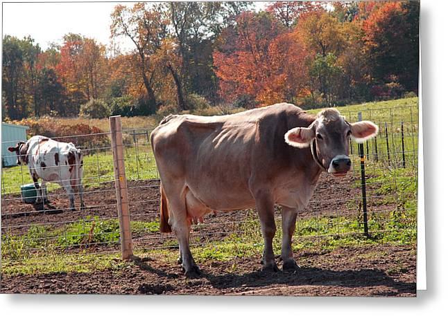 Ignoring Cows Greeting Card by LeeAnn McLaneGoetz McLaneGoetzStudioLLCcom