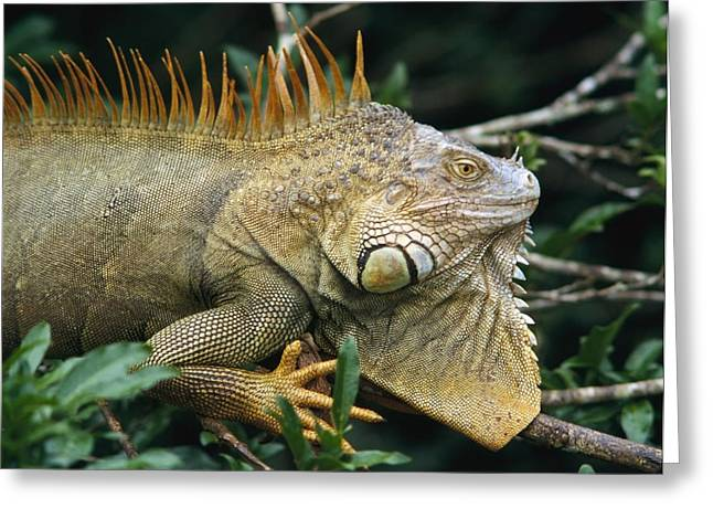 Negro Greeting Cards - Iguana Near Cano Negro National Park Greeting Card by Axiom Photographic