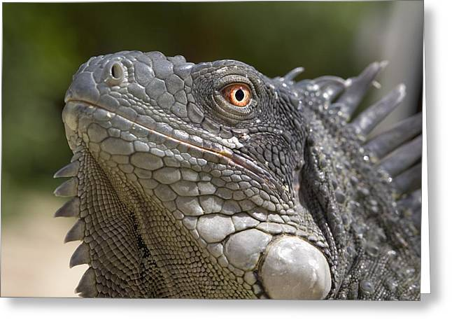 Lizard Head Greeting Cards - Iguana Greeting Card by Peter Scoones