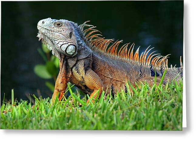 Myeress Greeting Cards - Iguana Poses  Greeting Card by Joe Myeress