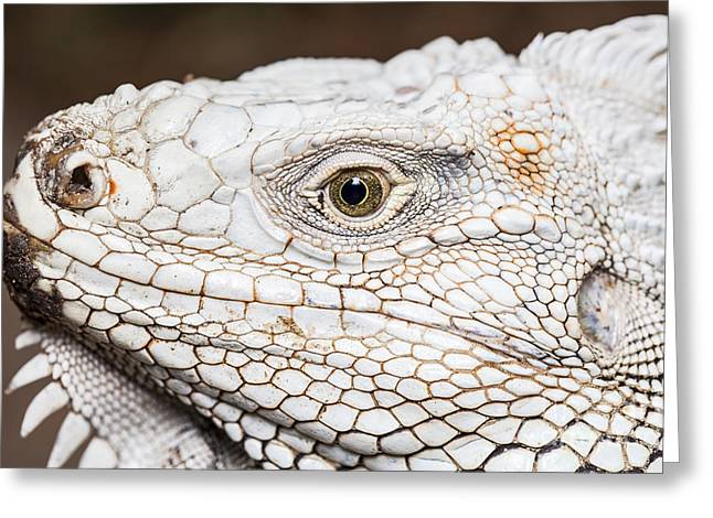 Large Scale Greeting Cards - Iiguana face Greeting Card by Anek Suwannaphoom