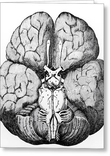 Circulation Greeting Cards - Illustration Of Blood Supply To The Brain,c.wren Greeting Card by