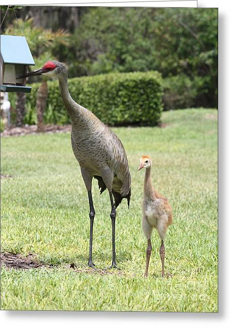 Sandhill Cranes Greeting Cards - Im a Big Girl Now Greeting Card by Carol Groenen