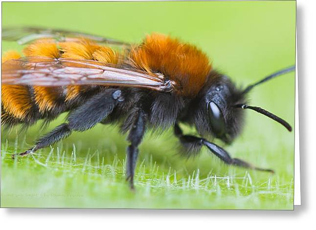 Mining Photos Greeting Cards - Im a Tawny mining bee Andrena fulva lest you forget Greeting Card by Steven Poulton