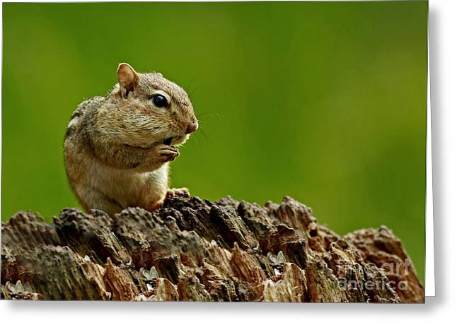 Shelley Myke Greeting Cards - Im Almost Stuffed- Chipmunk in the Forest Greeting Card by Inspired Nature Photography By Shelley Myke