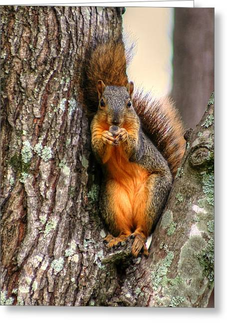 Fox Squirrel Greeting Cards - Im Offering You This Nut Greeting Card by Ester  Rogers