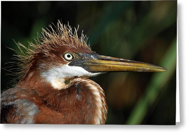 Louisiana Heron Greeting Cards - Immature Louisiana Hair Day Greeting Card by Skip Willits