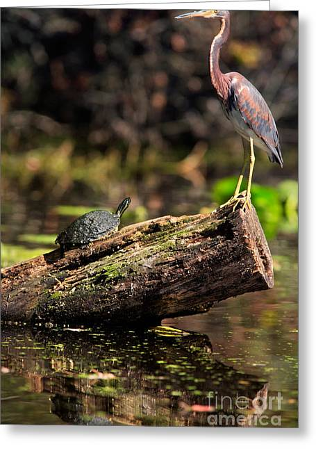 Immature Greeting Cards - Immature Tri-colored Heron and Peninsula Cooter Turtle Greeting Card by Matt Suess