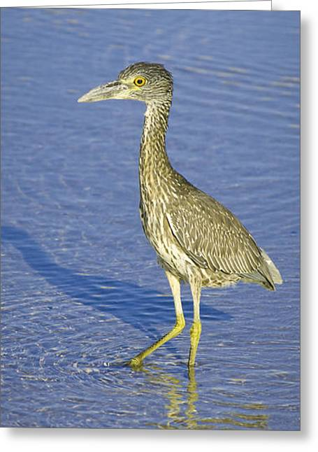 Immature Greeting Cards - Immature Yellow Crowned Night Heron  Greeting Card by Patrick M Lynch
