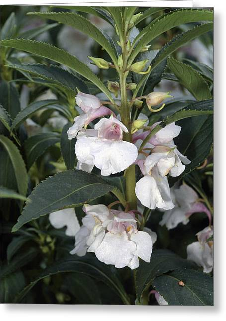 Impatiens Greeting Cards - Impatiens Balsamina. Greeting Card by Bob Gibbons