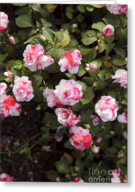 Impatiens Flowers Greeting Cards - Impatiens Flowers  Greeting Card by Erin Paul Donovan