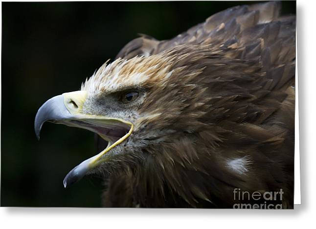 Ornithological Photographs Greeting Cards - Imperial Eagle 1 Greeting Card by Heiko Koehrer-Wagner