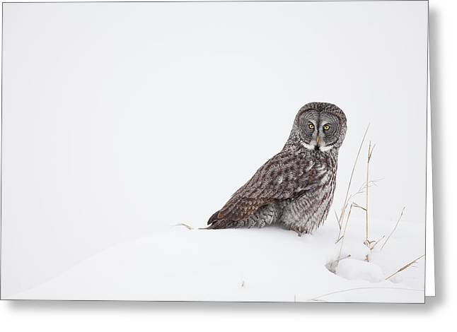Falcon Hunting Greeting Cards - In a Field of White Greeting Card by Tim Grams