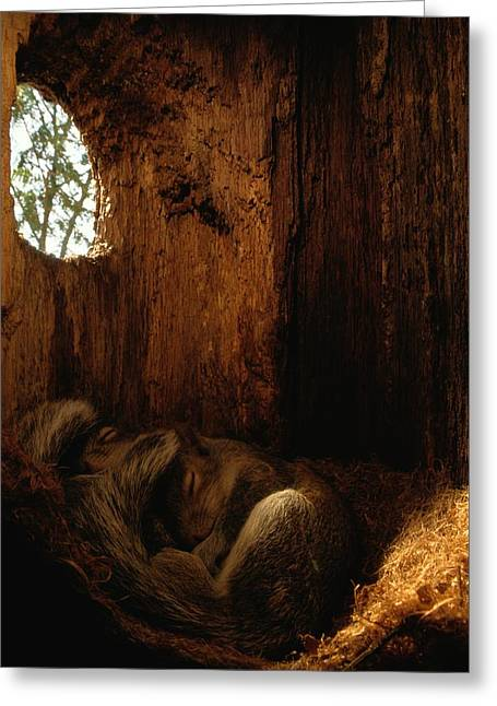 Best Sellers -  - Sciurus Carolinensis Greeting Cards - In A Tree-hollow Nest Constructed Greeting Card by Chris Johns
