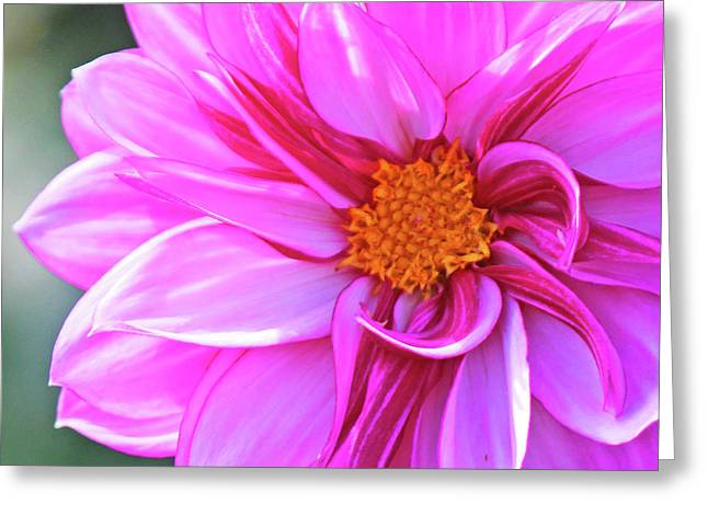 In love with pink Greeting Card by Becky Lodes