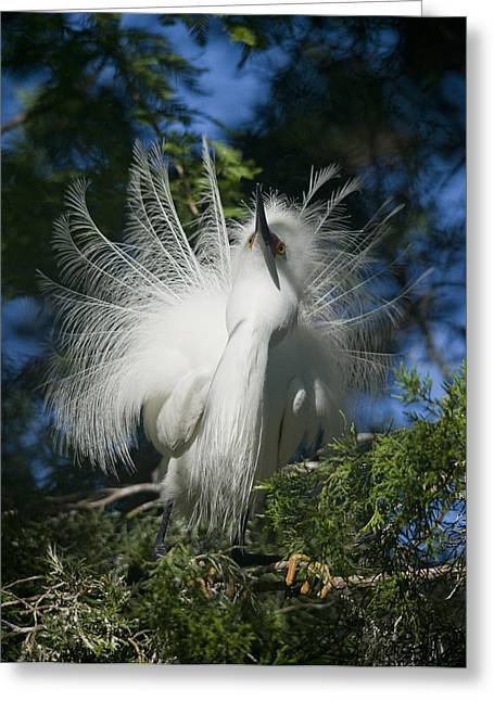 Ardea Greeting Cards - In Plumage Greeting Card by Wade Aiken
