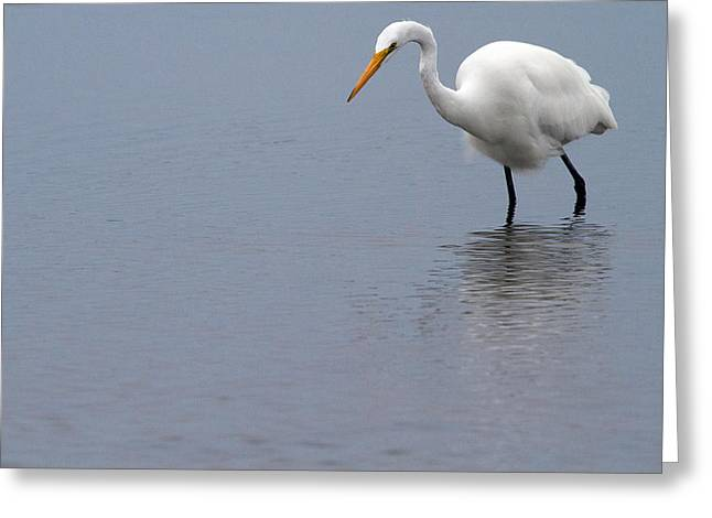 Great White Egret Greeting Cards - In Search of Greeting Card by Karol  Livote