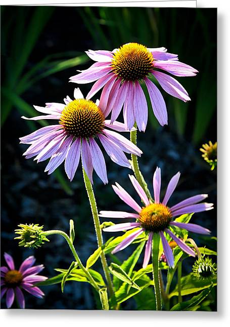 Abstracted Coneflowers Greeting Cards - In The Garden Greeting Card by Steve McKinzie