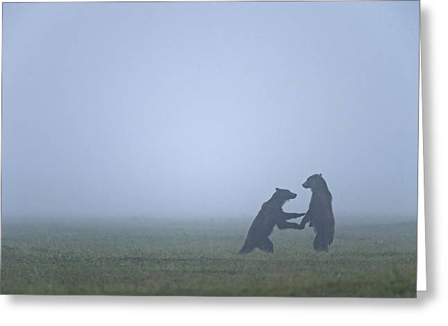 Sparring Greeting Cards - In The Morning Mist, Two Brown Bears Greeting Card by Michael Melford