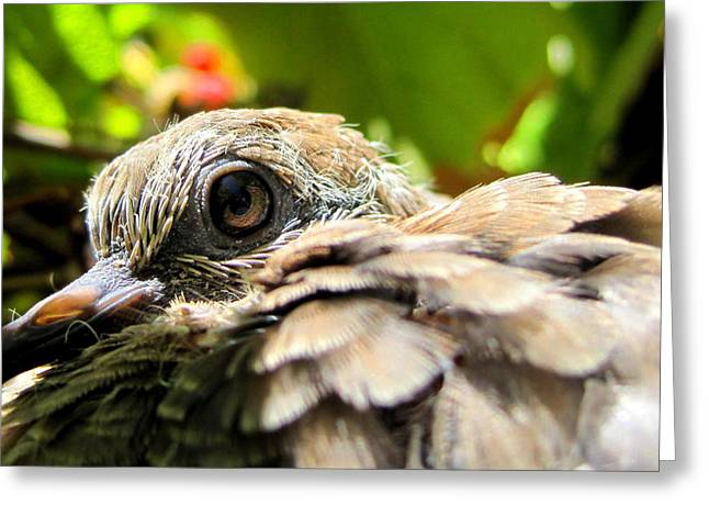 Morning Dove Photograph Greeting Cards - In the Nest Greeting Card by Catherine Natalia  Roche