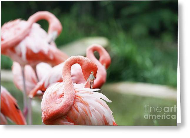 Pink Flamingo Nature Photo Greeting Cards - In The Pink Greeting Card by Stephanie Frey