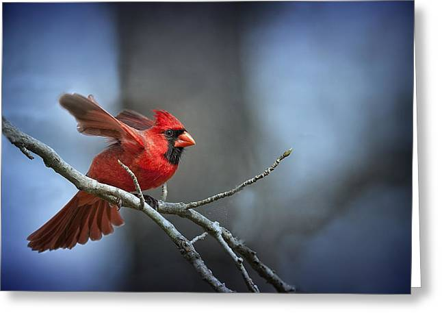 Male Northern Cardinal Greeting Cards - In the still of the night . . . Greeting Card by Bonnie Barry