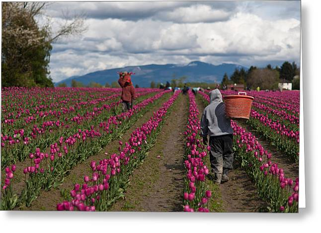 In The Tulip Fields Greeting Card by Mike Reid