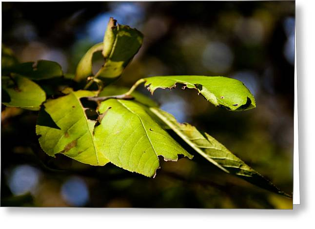 Green Foliage Greeting Cards - In the Woods Greeting Card by Bob Mintie