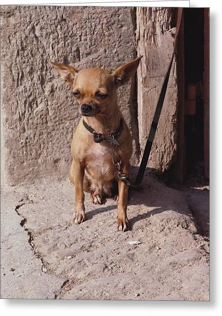 Short Hair Chihuahua Greeting Cards - In this close-up, a Greeting Card by O. Louis Mazzatenta