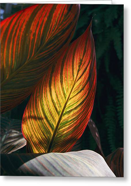 Canna Tropicanna Greeting Cards - In This Vertical View, Sunlight Greeting Card by Stephen St. John