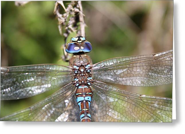 Blue Darner Dragonfly Greeting Cards - In Your Eyes Greeting Card by Tracey Levine