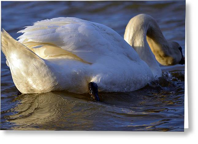Swans... Greeting Cards - In your face 2 Greeting Card by Brian Stevens