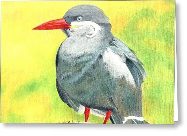 Tern Drawings Greeting Cards - Inca Tern Greeting Card by Ana Tirolese