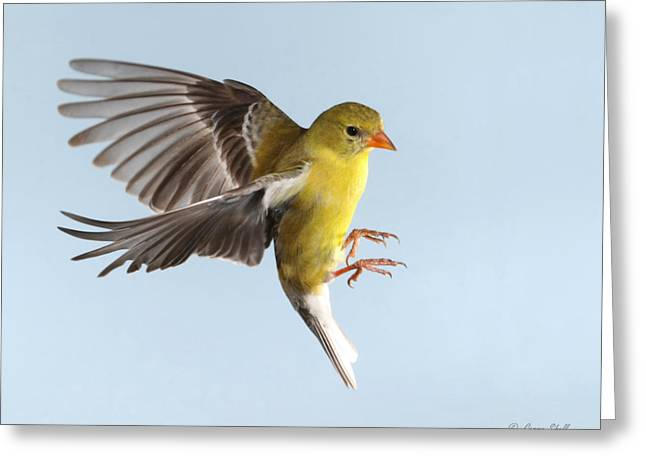 Canary In Flight Greeting Cards - Incoming Greeting Card by Gerry Sibell